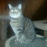 Domestic Shorthair Cat for adoption in Trexlertown, Pennsylvania - Georgette-New Pics!