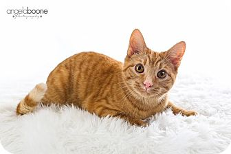 Domestic Shorthair Cat for adoption in Plymouth, Minnesota - Cookie