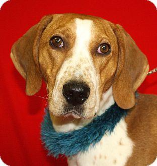 Treeing Walker Coonhound Mix Dog for adoption in Jackson, Michigan - Copper