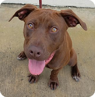 Labrador Retriever Mix Dog for adoption in Jersey City, New Jersey - Julie Andrews