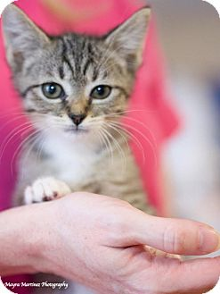 Domestic Shorthair Kitten for adoption in Knoxville, Tennessee - Sylvia