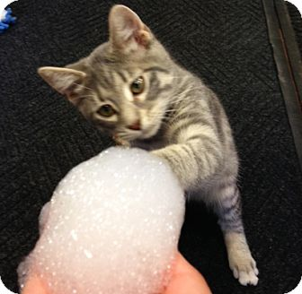 Domestic Shorthair Kitten for adoption in Lombard, Illinois - Tipsy