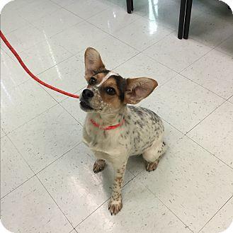 Australian Cattle Dog/Corgi Mix Dog for adoption in Nashville, Tennessee - Sydney