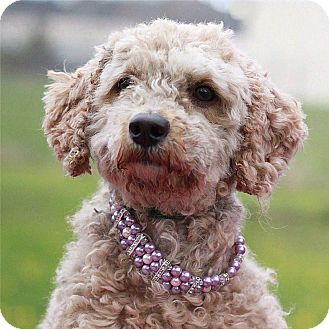 Poodle (Miniature) Mix Dog for adoption in South Haven, Michigan - Billie Jo