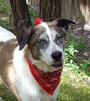 Great Pyrenees/Great Dane Mix Dog for adoption in Lago Vista, Texas - Paris
