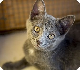 Domestic Shorthair Kitten for adoption in Chicago, Illinois - Gilly