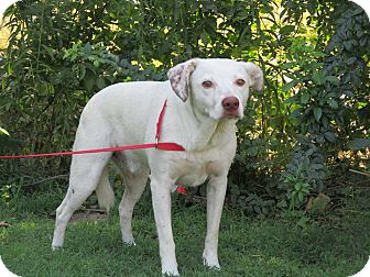 Pointer/Terrier (Unknown Type, Medium) Mix Dog for adoption in st. jacob, Illinois - Toby