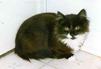 Domestic Longhair Kitten for adoption in Toluca Lake, California - Penny
