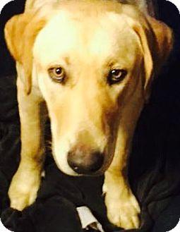 Labrador Retriever Dog for adoption in Goodlettsville, Tennessee - Bo