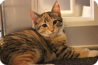 Domestic Shorthair Kitten for adoption in Carlisle, Pennsylvania - BetsyPENDING