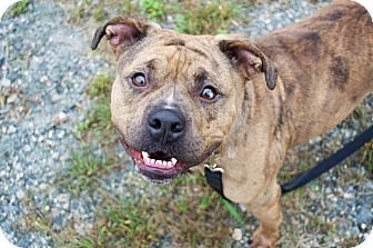 Pit Bull Terrier/Bulldog Mix Dog for adoption in Prince George, Virginia - Sugar