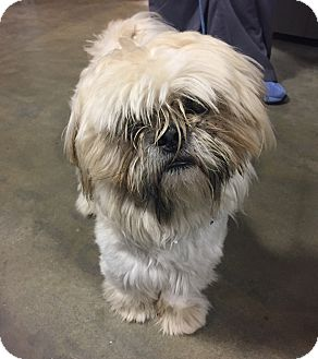 Shih Tzu Mix Dog for adoption in Wilmington, Delaware - Thor