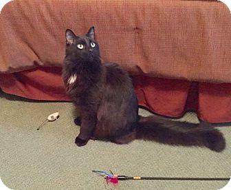 Domestic Longhair Cat for adoption in Berkeley, California - Loki