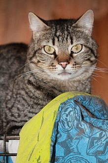 Domestic Shorthair Cat for adoption in Rawlins, Wyoming - Samson