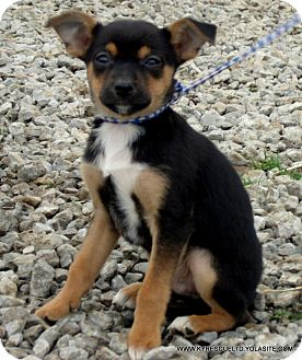 Chihuahua/Corgi Mix Puppy for adoption in Waterbury, Connecticut - BARNEY/ADOPTED