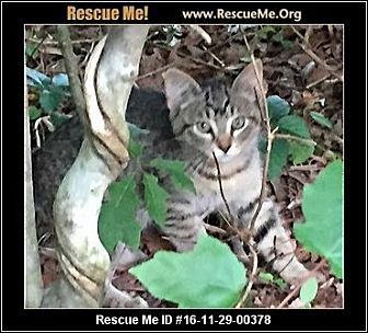 Domestic Shorthair Kitten for adoption in Waldorf, Maryland - Dana
