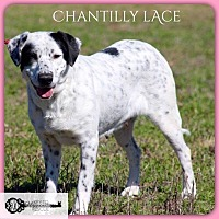 Adopt A Pet :: Chantilly Lace - DeForest, WI