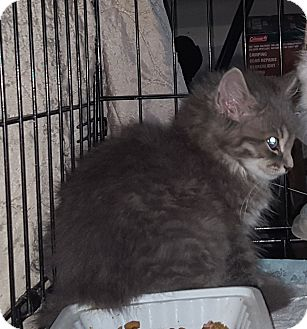 Domestic Mediumhair Kitten for adoption in Irwin, Pennsylvania - Rocco