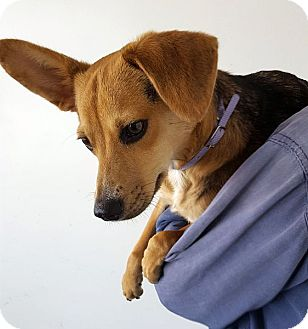 Beagle Dog for adoption in Berkeley, California - Nugget
