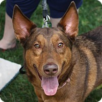 Husky/Shepherd (Unknown Type) Mix Dog for adoption in Roswell, Georgia - Declan