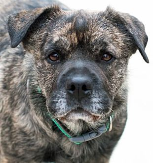 Shar Pei/Shar Pei Mix Dog for adoption in San Diego, California - Dukester