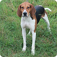 Treeing Walker Coonhound Dog for adoption in Providence, Rhode Island - Brady-URGENT