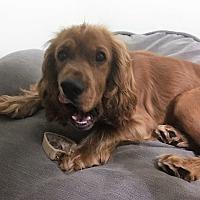 Adopt A Pet :: Bentley-ADOPTION PENDING - Sacramento, CA