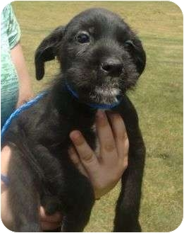 Portuguese Water Dog Mix Puppy for adoption in Harrisonburg, Virginia - Chaz (IN NEW ENGLAND)