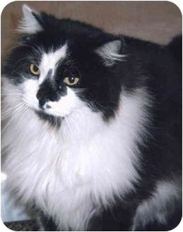 Domestic Longhair Cat for adoption in Grass Valley, California - Big Ben
