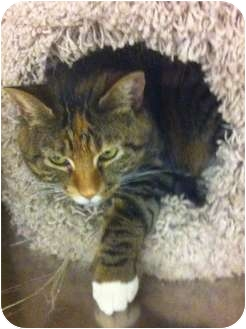 Domestic Shorthair Cat for adoption in Pittstown, New Jersey - Boxie