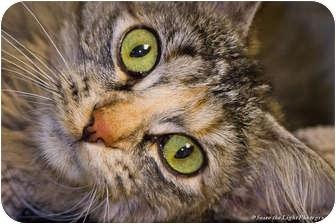 Domestic Mediumhair Cat for adoption in Bulverde, Texas - Missy