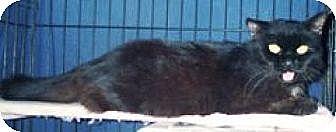 Domestic Mediumhair Cat for adoption in Miami, Florida - Shadow
