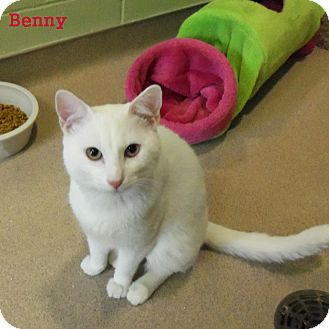 Domestic Shorthair Cat for adoption in Slidell, Louisiana - Benny