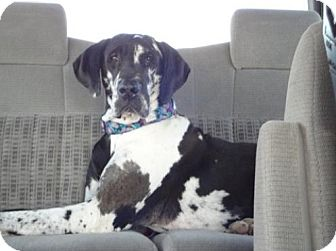 Great Dane Dog for adoption in Indianapolis, Indiana - Dolly