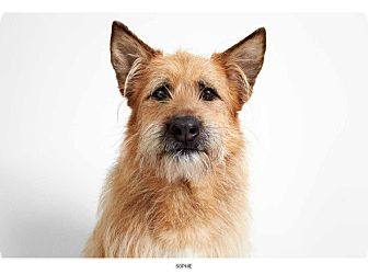 Airedale Terrier Mix Dog for adoption in New York, New York - Sophie
