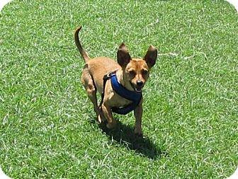 Dachshund Mix Dog for adoption in Indio, California - Jack