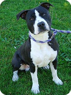 American Staffordshire Terrier Mix Dog for adoption in Red Bluff, California - ARROW