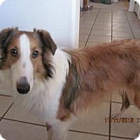 Adopt A Pet :: Scooby - apache junction, AZ