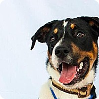 Boxer/Collie Mix Dog for adoption in Houston, Texas - Superman