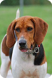 Coonhound (Unknown Type) Mix Dog for adoption in Elyria, Ohio - Addi