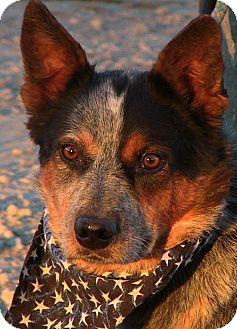 Australian Cattle Dog Dog for adoption in Texico, Illinois - Tumble Weed