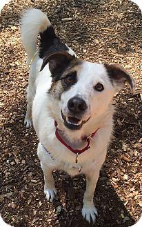 Border Collie/Australian Shepherd Mix Dog for adoption in Briarcliff Manor, New York - Milo