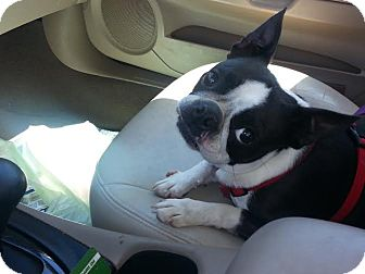Boston Terrier Dog for adoption in Sugar Grove, Illinois - Abby
