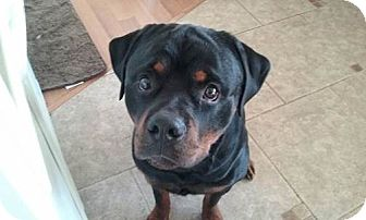 Rottweiler Mix Dog for adoption in Minneapolis, Minnesota - Bronson