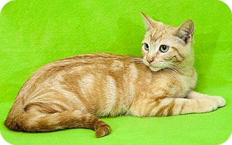 Domestic Shorthair Cat for adoption in Las Vegas, Nevada - Christian