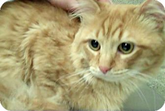 Domestic Longhair Cat for adoption in Parma, Ohio - Cinnamon