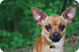 Chihuahua Mix Dog for adoption in New Castle, Pennsylvania - Leo