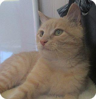 Domestic Shorthair Cat for adoption in Lloydminster, Alberta - Stevie