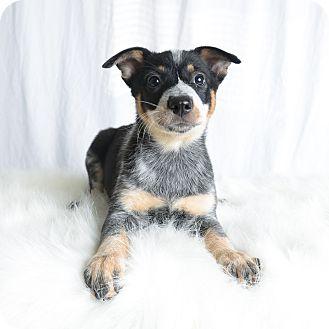 Cattle Dog/Blue Heeler Mix Puppy for adoption in Wilmington, Delaware - Martha