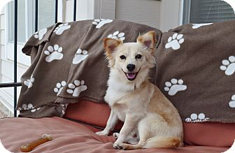 Pomeranian/Chihuahua Mix Dog for adoption in Nashville, Tennessee - LUCAS